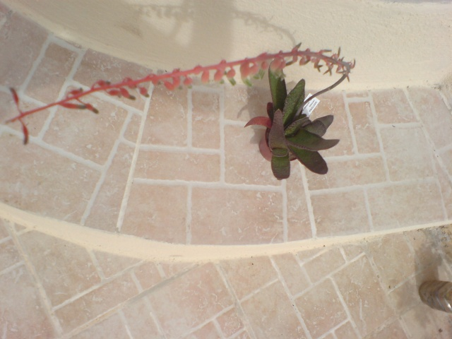 floraison de mon Gasteria carinata var. carinata Dsc00017
