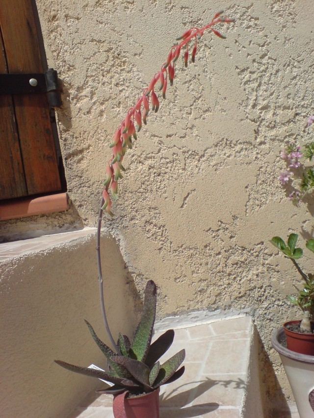 floraison de mon Gasteria carinata var. carinata Dsc00019