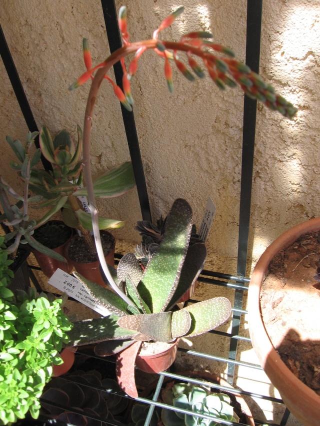 floraison de mon Gasteria carinata var. carinata Img_0028