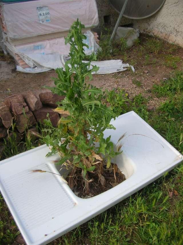 identification plante de mon jardin...(:lactuca seriola) - Page 2 Dscn6634