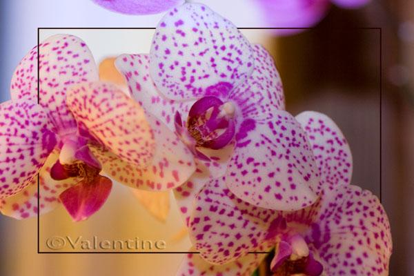 Un nouveau Phalaenopsis, picoté cette-fois Orchph15