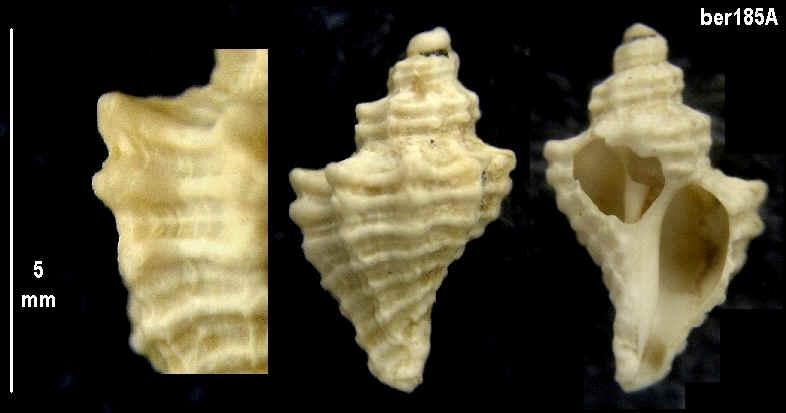 [résolu]Tritonalia sp. Ber18510