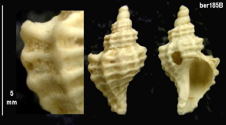 [résolu]Tritonalia sp. Ber18511