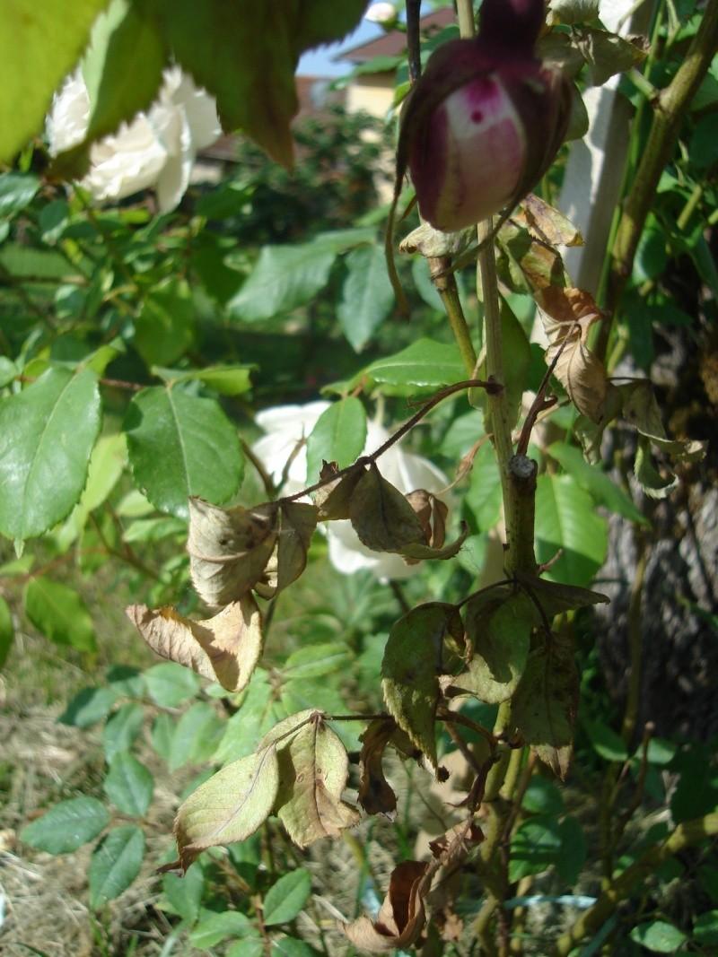 rosiers Dsc01110