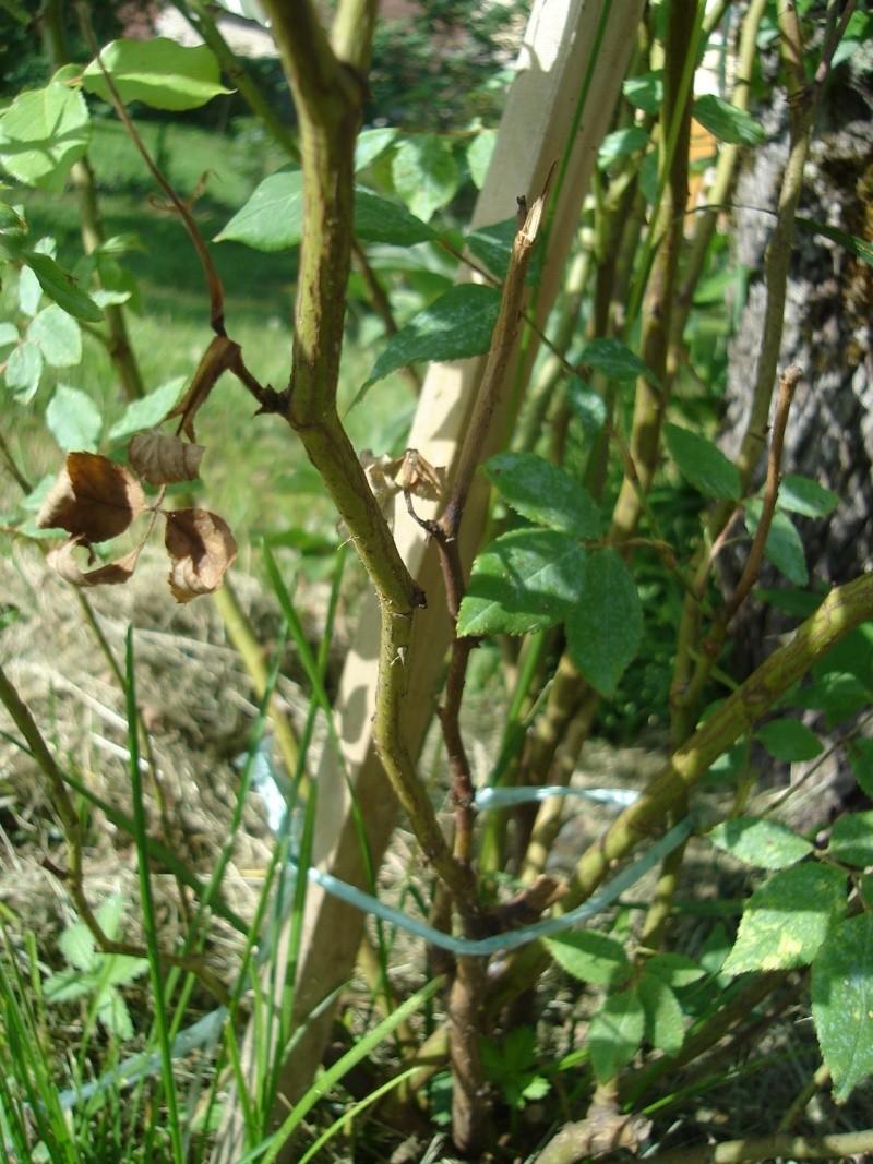 rosiers Dsc01111