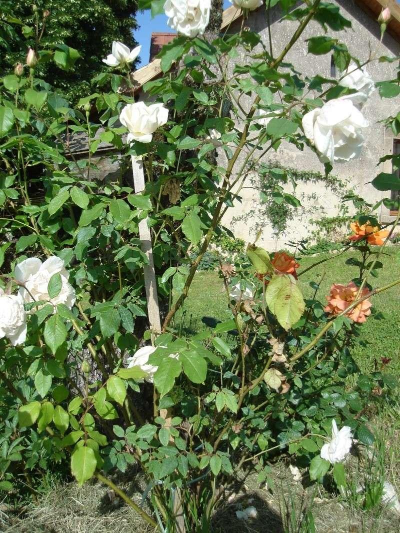 rosiers Dsc01112
