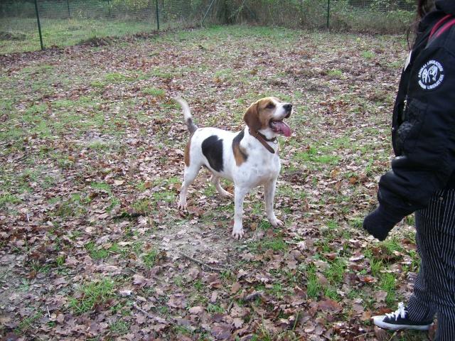 ZEN, croisé beagle mâle, 3 ans (SPA de Luynes-37) Photo_13