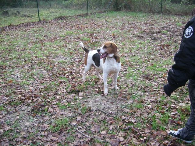 ZEN, croisé beagle mâle, 3 ans (SPA de Luynes-37) Photo_14