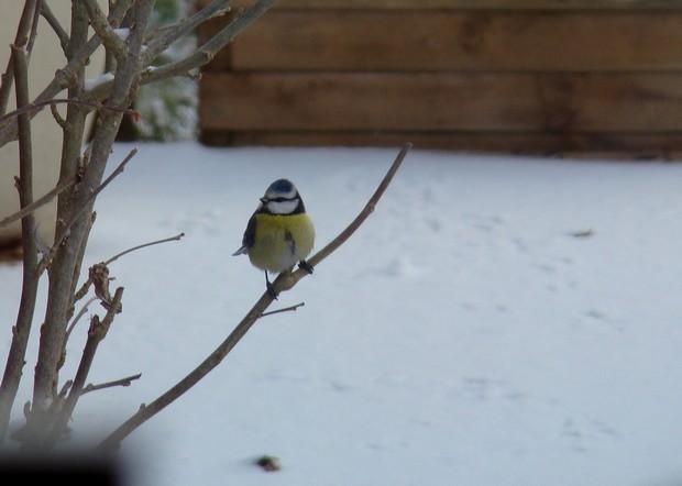 oiseaux de mon jardin Dsc01115