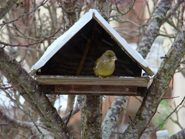 oiseaux de mon jardin Dsc01116