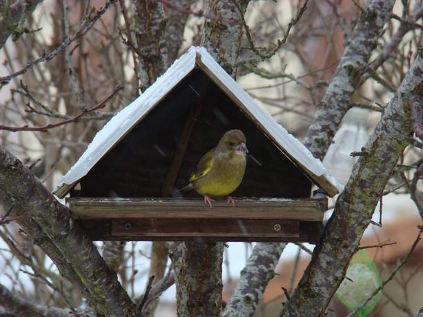 oiseaux de mon jardin Dsc01117