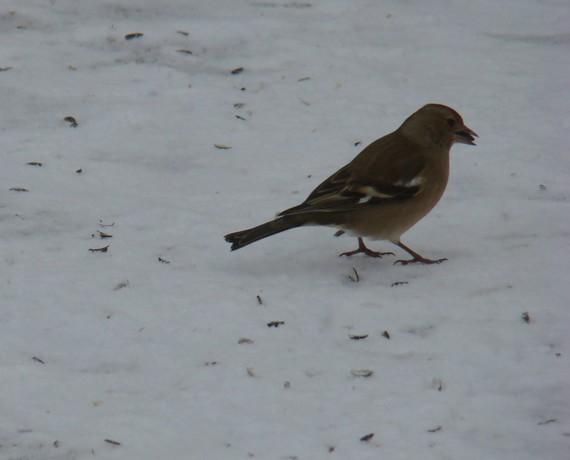 oiseaux de mon jardin Dsc01119