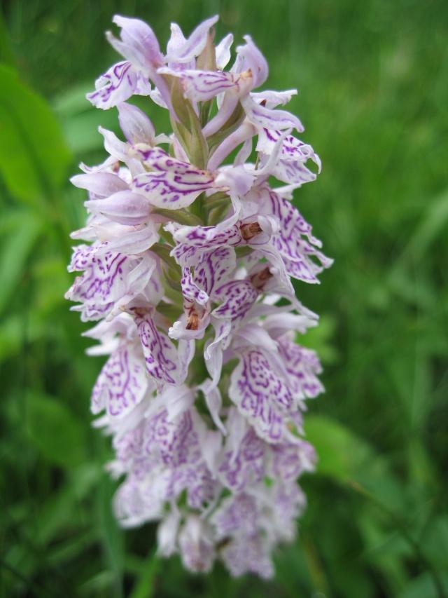 Orchidées sauvages du Morvan Img_0010