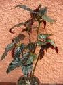 Begonia 'Little Miss Mummy' Begos_15