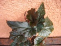 Begonia 'Little Miss Mummy' Begos_16