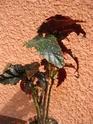 Begonia 'Little Miss Mummy' Begos_17