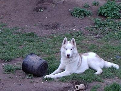 BALTO, husky de 1an 2442e310