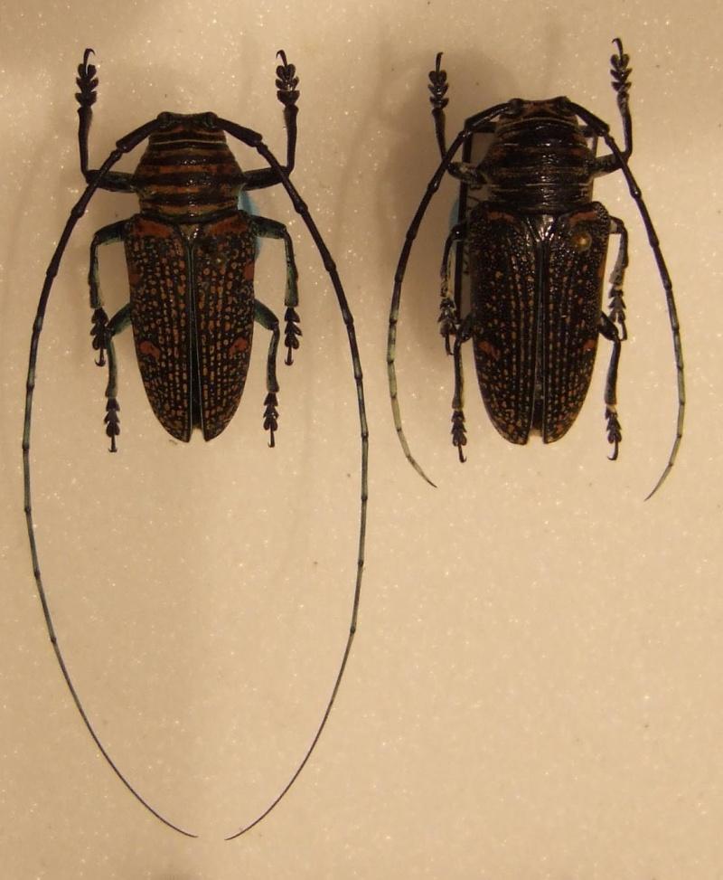 [Zographus regalis cuprea]Cerambycidae n° 3 Z_reg10