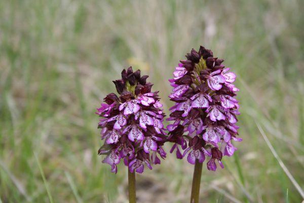 Orchidées sauvages du Morvan Orchis10