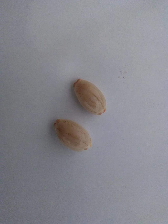 Luria isabella (Linnaeus, 1758) Img_2049
