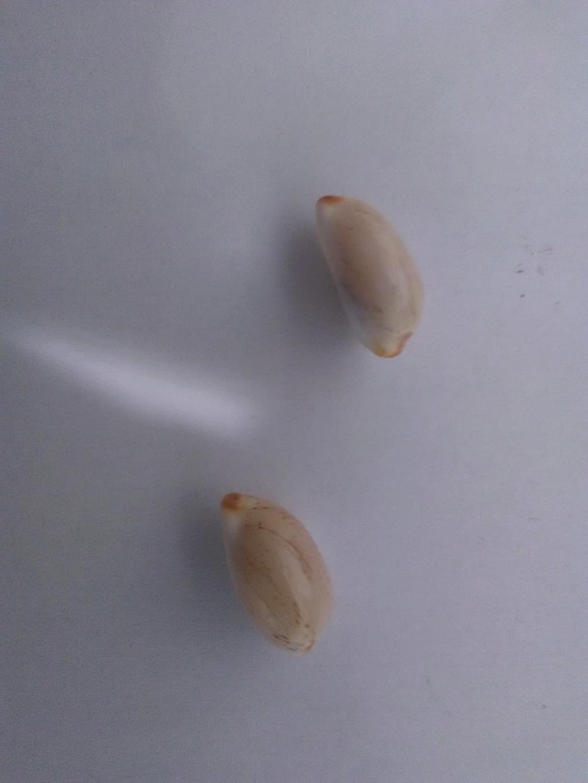 Luria isabella (Linnaeus, 1758) Img_2050