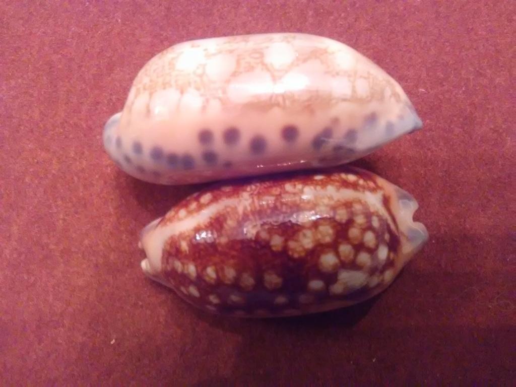 Mauritia scurra scurra - (Gmelin, 1791)  / nigérisante Img_2093