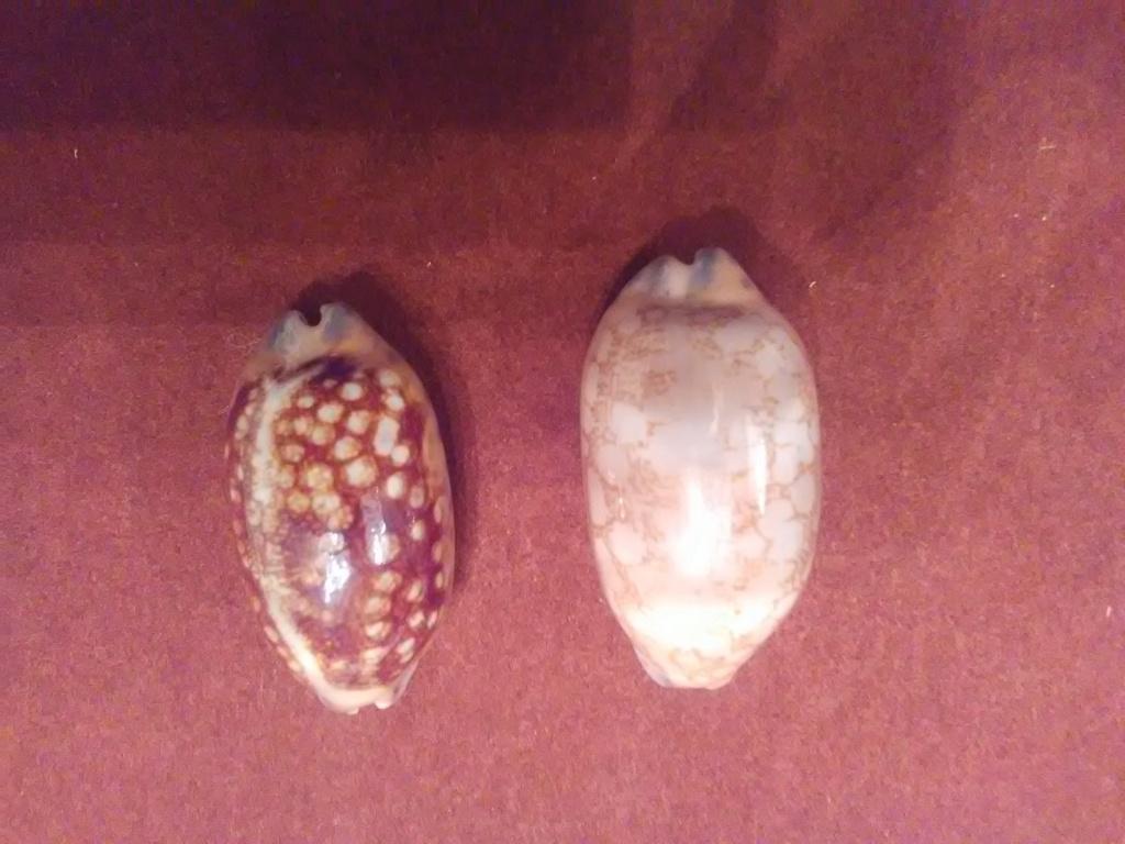 Mauritia scurra scurra - (Gmelin, 1791)  / nigérisante Img_2094