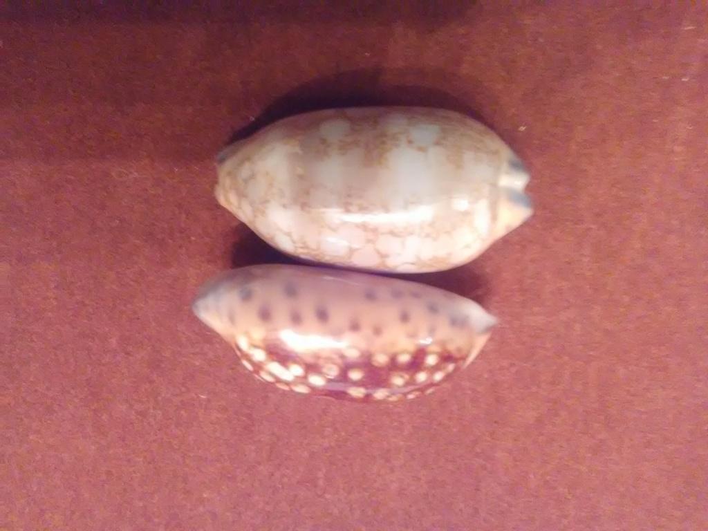 Mauritia scurra scurra - (Gmelin, 1791)  / nigérisante Img_2095