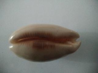 Luria pulchra (Gray, 1824) Img_2332