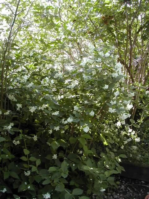 toujours un arbuste à identifier Dscn6511