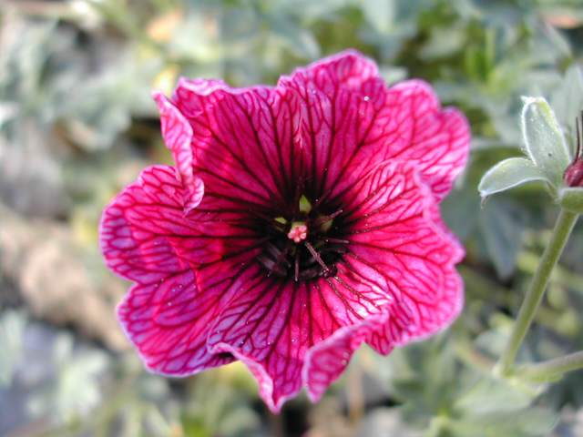 Geranium cinereum 'Purple Pillow' Dscn6515