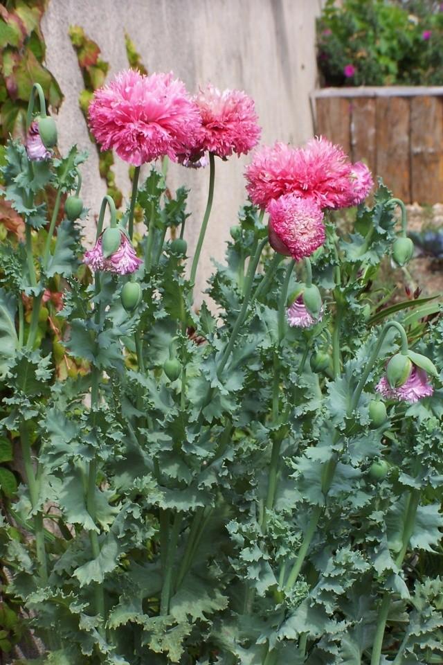 forme double de pavot à opium 100_6311