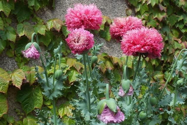 forme double de pavot à opium 100_6312