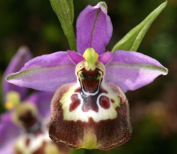 [Italie] Orchidées de Sicile 2007 09-cal10