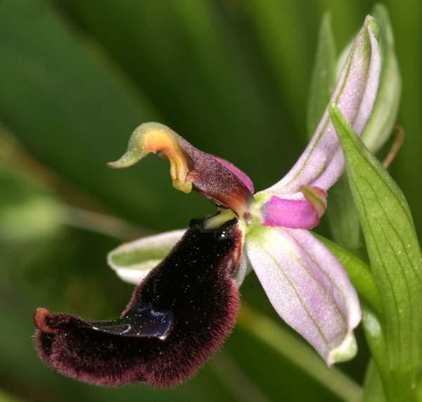 [Italie] Orchidées de Sicile 2007 11-ber10