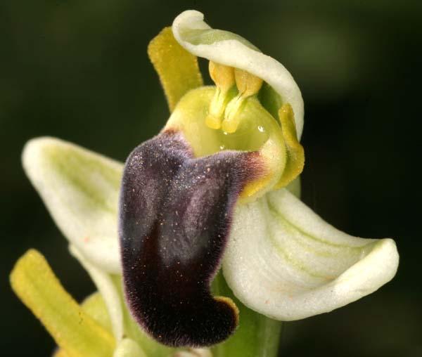 [Italie] Orchidées de Sicile 2007 14-pal10