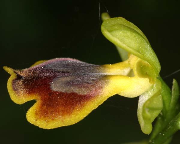 [Italie] Orchidées de Sicile 2007 17-arc10