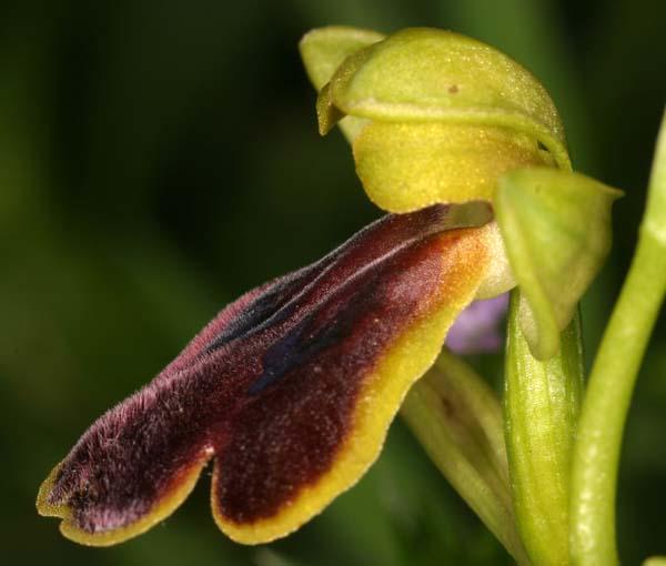 [Italie] Orchidées de Sicile 2007 22-luc10