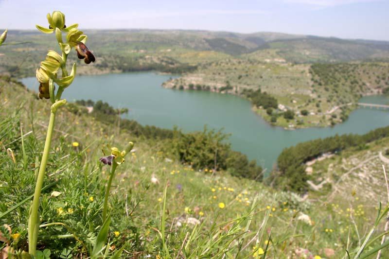 [Italie] Orchidées de Sicile 2007 3_oph_10
