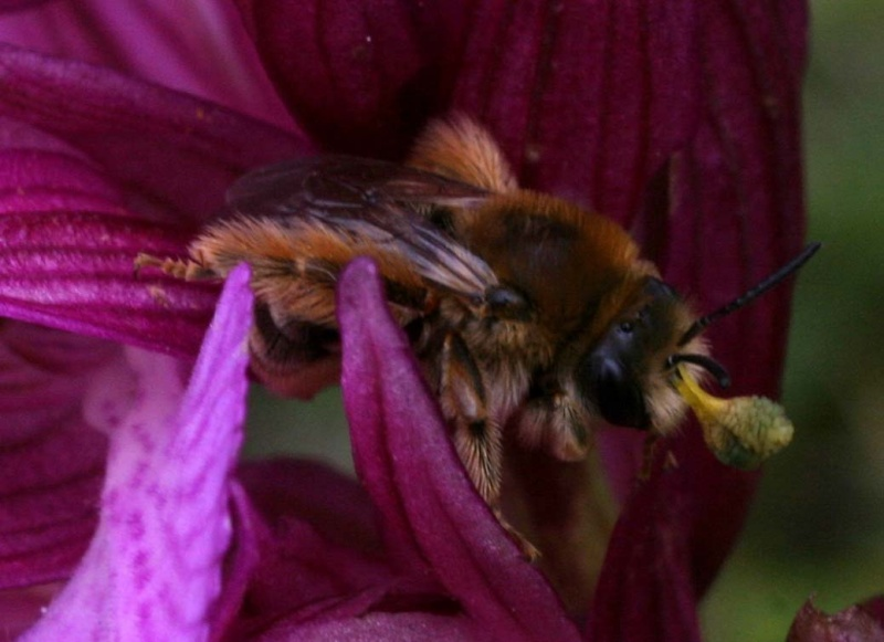 Eucera Sp ? Pollinisateur d'Ana papilionacea subsp expansa Fem10