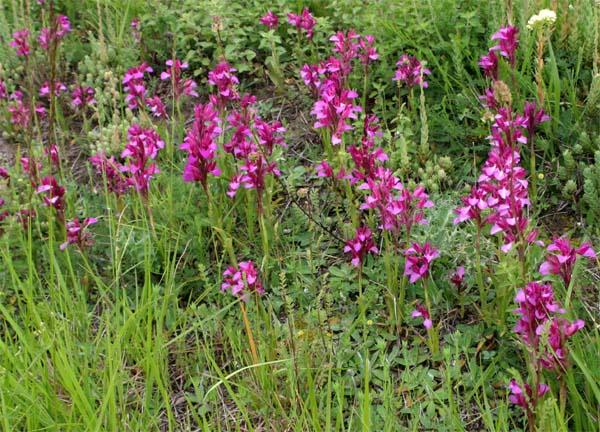 Eucera Sp ? Pollinisateur d'Ana papilionacea subsp expansa Pap010