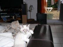 Perdu à Blagnac, chatte 5 mois typée siamoise (07/01/2010) Perdul10