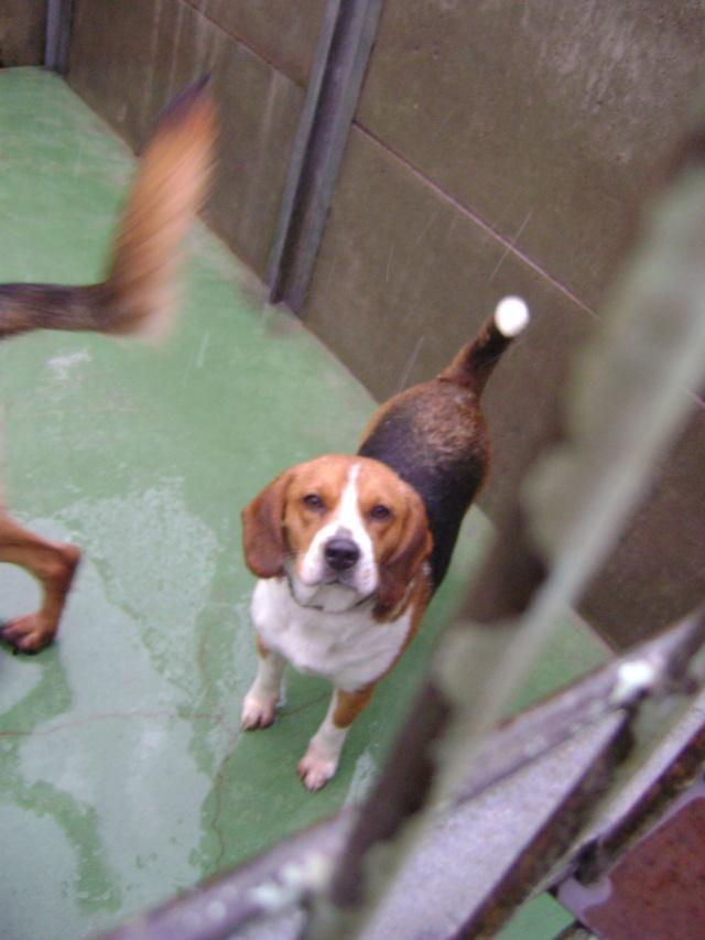 DIPSY, femelle beagle, 2 ans (59) Dsc06316