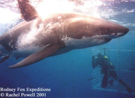 أسماك القرش 4_bmp10