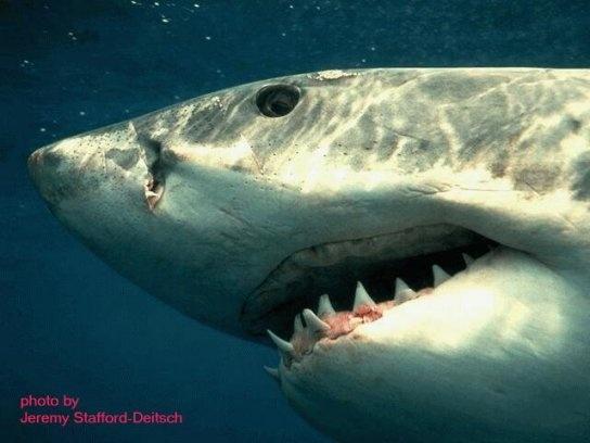 أسماك القرش 6_bmp10