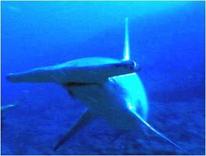 أسماك القرش 810