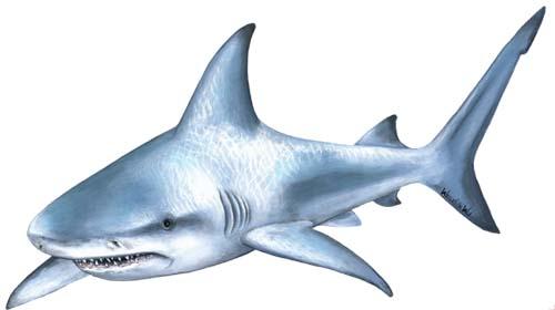 أسماك القرش Shark10