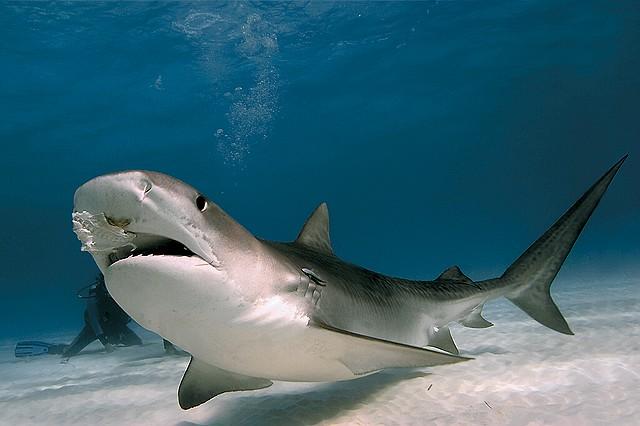 أسماك القرش Tiger_10