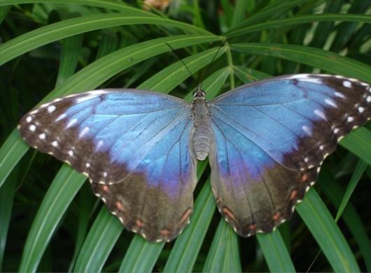 Les papillons bleus ou morphos Image_10