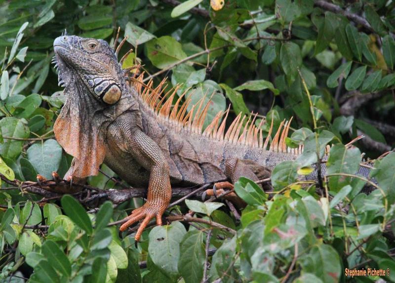 Majestueux Iguane du Belize  Red-ig11